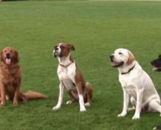 Adestramento-de-cães